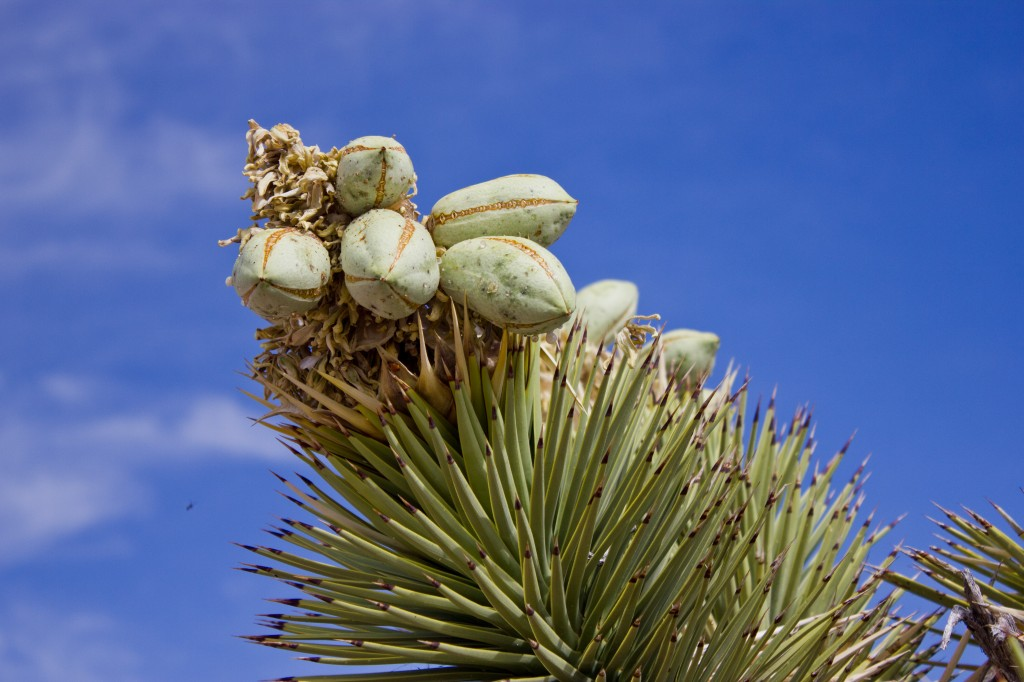 Joshua Tree Pods