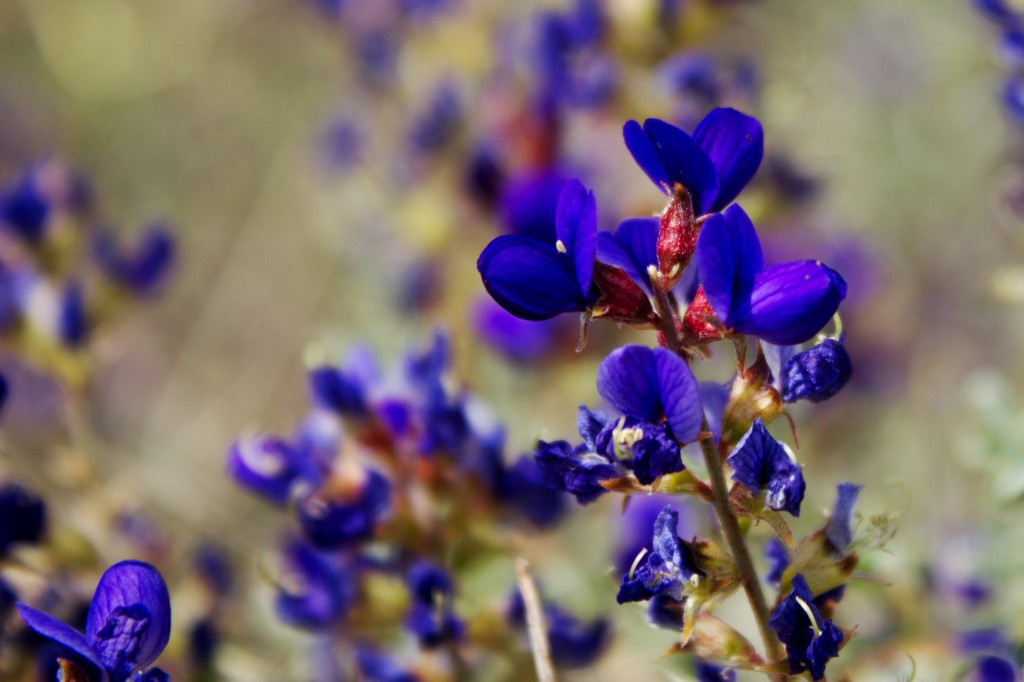 Flowering Indigo Bush